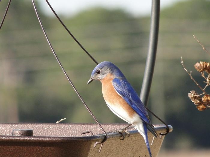 Eastern Bluebird Apr 15 2011